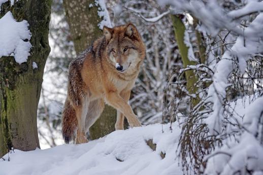 wolf-1972762_1920