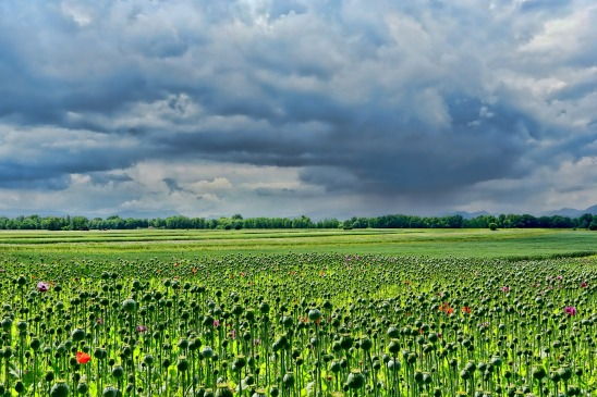 field-of-poppies-3432640_1920