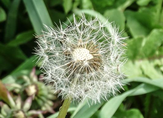 dandelion-483701_1920