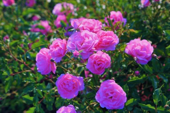 rose-4274667_1920