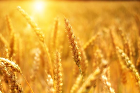 wheat-3506758_1920